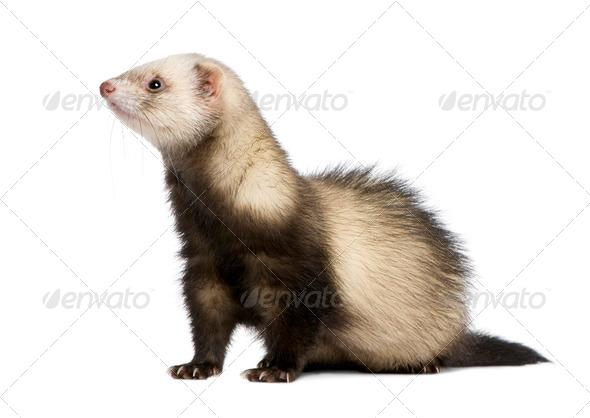 ferret - Mustela putorius furo - Stock Photo - Images