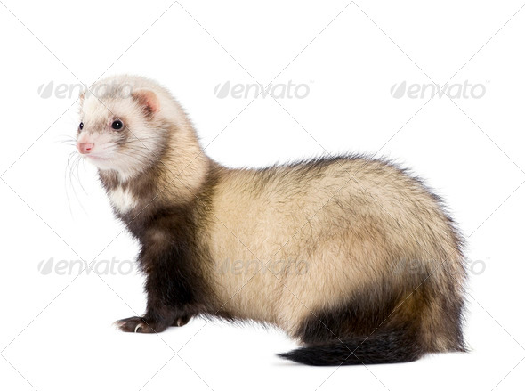 Side view of ferret standing in front of white background, studio shot - Stock Photo - Images