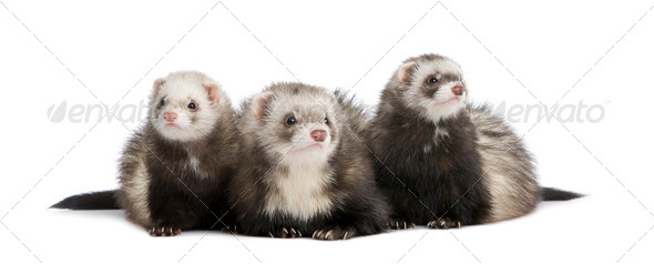 ferret - Mustela putorius furo - Stock Photo - Images