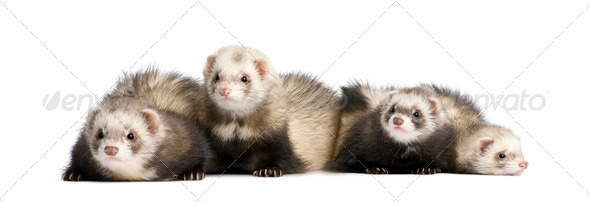 ferrets in a row - Mustela putorius furo - Stock Photo - Images