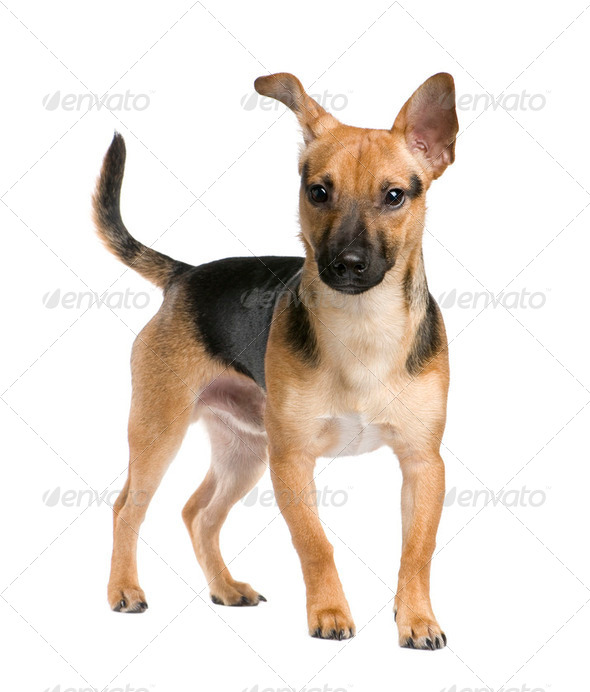 Mixed-Breed Dog between a jack russel and a pinscher (7 months) - Stock Photo - Images