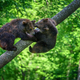Two wild Brown Bear on tree in the summer forest. Animal in natural habitat. Wildlife scene - PhotoDune Item for Sale