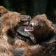 Two Wild Brown Bear play or fight  on pond in the summer forest - PhotoDune Item for Sale