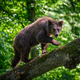 Wild Brown Bear on tree in the summer forest. Animal in natural habitat. Wildlife scene - PhotoDune Item for Sale