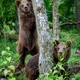 Wild Brown Bear leans against a tree in the summer forest. Animal in natural habitat. Wildlife scene - PhotoDune Item for Sale