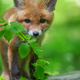 Red fox, vulpes vulpes, small young cub in forest. Cute little wild predators in natural environment - PhotoDune Item for Sale