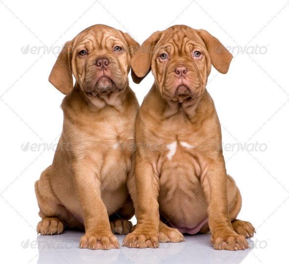 Dogue de Bordeaux puppy (2 months) - Stock Photo - Images
