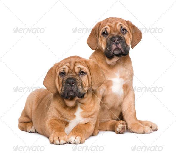 Dogue de Bordeaux puppy (2 months) - Stock Photo - Images