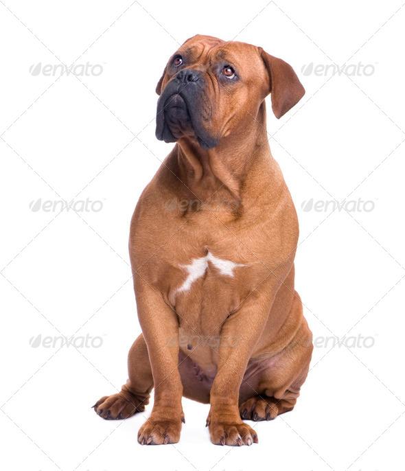 Dogue de Bordeaux (1 year) - Stock Photo - Images