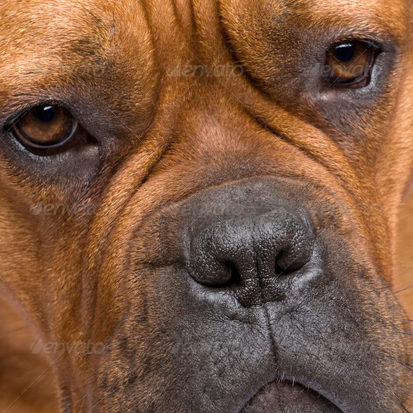 Dogue de Bordeaux (1 year) - Stock Photo - Images