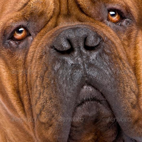 Dogue de Bordeaux (2 years) - Stock Photo - Images