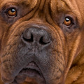 Dogue de Bordeaux (2 years)