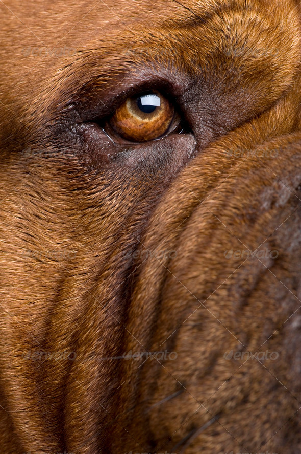 Dogue de Bordeaux (2 years) - Stock Photo - Images