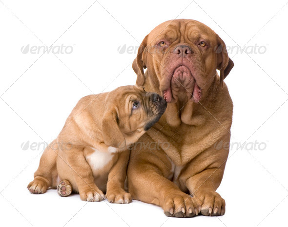 mother Dogue de Bordeaux and her puppy (2 months) - Stock Photo - Images