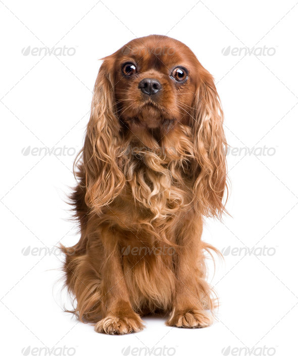 Cavalier King Charles (6 years) - Stock Photo - Images