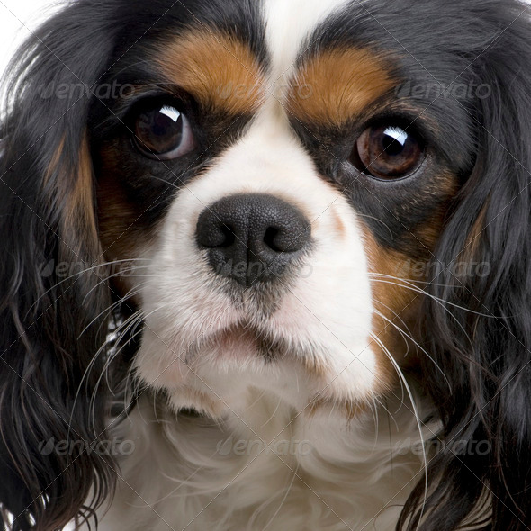 Cavalier King Charles (2 years) - Stock Photo - Images