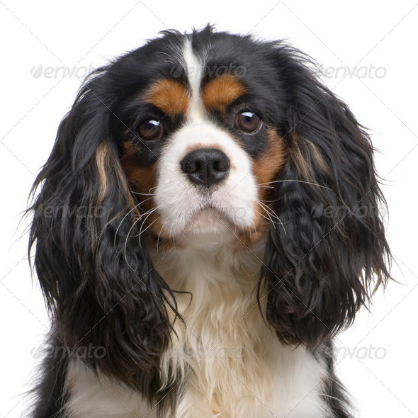 Cavalier King Charles (10 months) - Stock Photo - Images