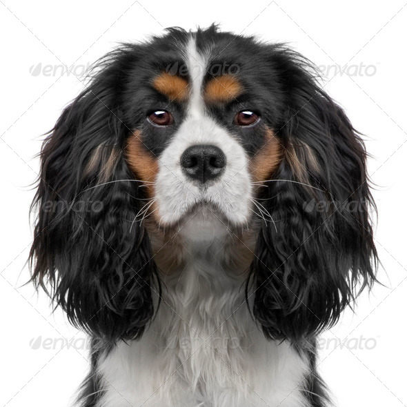 Cavalier King Charles puppy (10 months) (Digital enhancement) - Stock Photo - Images