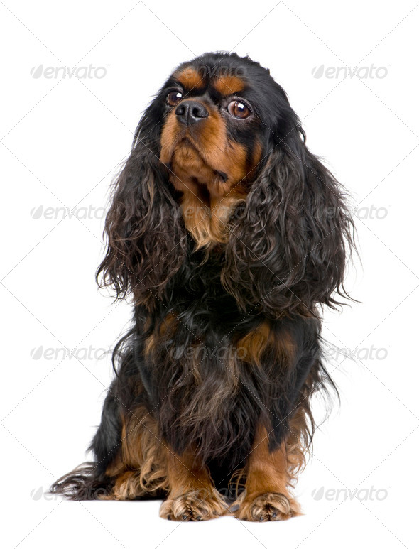 Cavalier King Charles (3 years) - Stock Photo - Images