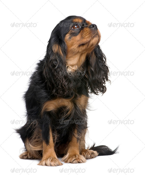 Cavalier King Charles (4 years) - Stock Photo - Images
