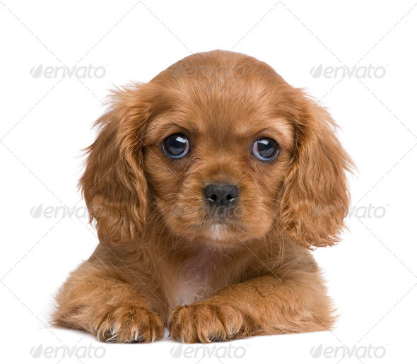 Cavalier King Charles puppy (7 weeks) - Stock Photo - Images