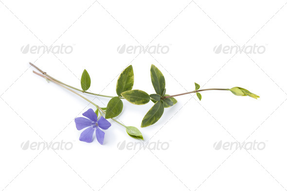 Blue flowering Vinca Minor - Stock Photo - Images