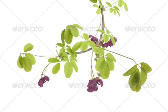 Twig of flowering Akebia - Stock Photo - Images