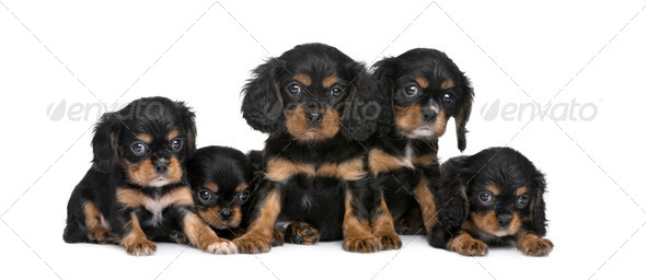 Cavalier King Charles puppy in a row (7 weeks) - Stock Photo - Images