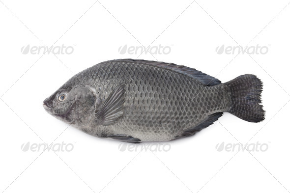 Whole single Fresh raw Tilapia fish - Stock Photo - Images