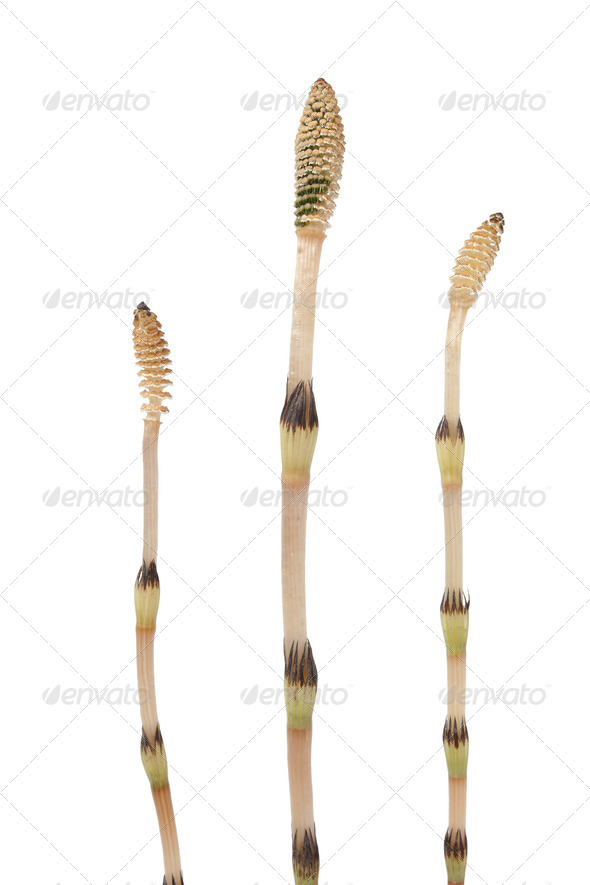Field horsetail - Stock Photo - Images