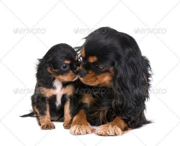 Cavalier King Charles () - Stock Photo - Images