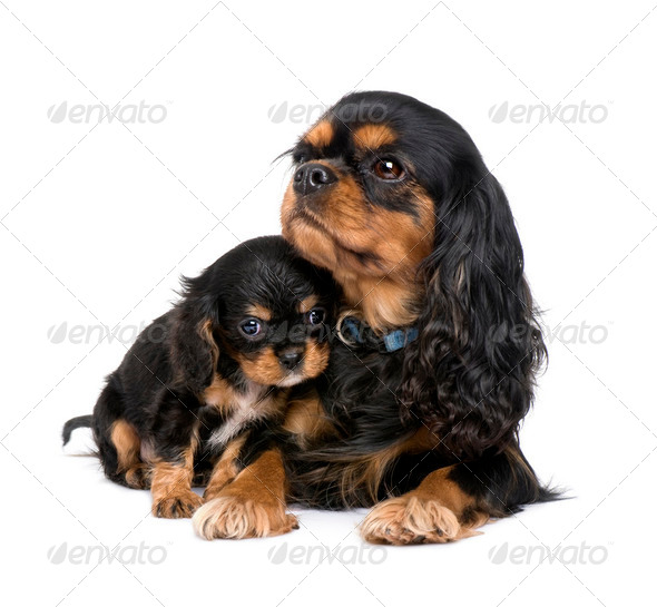 Cavalier King Charles puppy and mother - Stock Photo - Images