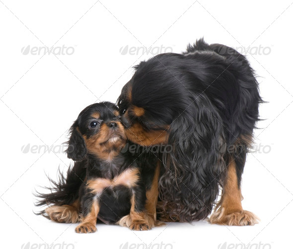 mother Cavalier King Charles  and her puppy - Stock Photo - Images