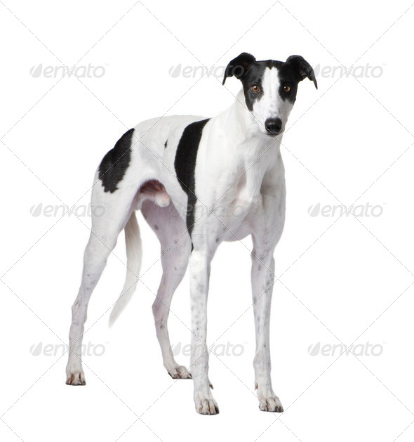 Greyhound - Stock Photo - Images