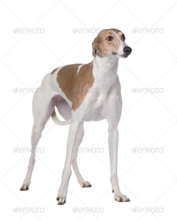 Greyhound (15 months) - Stock Photo - Images