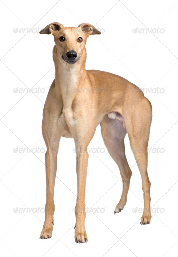 Greyhound (17 months) - Stock Photo - Images