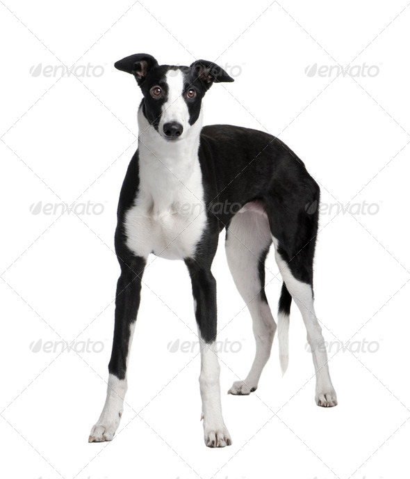 Greyhound (7 months) - Stock Photo - Images