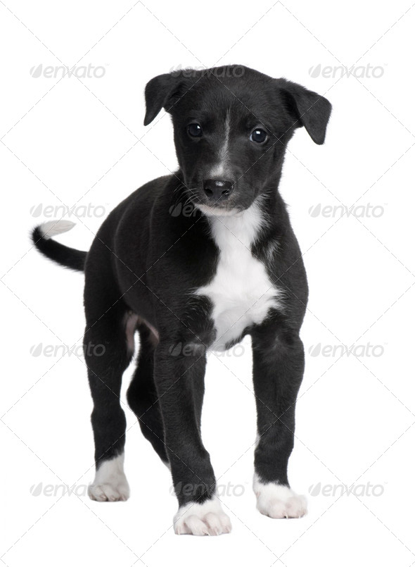 Greyhound puppy (6 weeks) - Stock Photo - Images