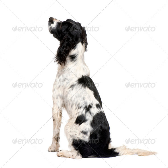 English Springer Spaniel (1 year) - Stock Photo - Images