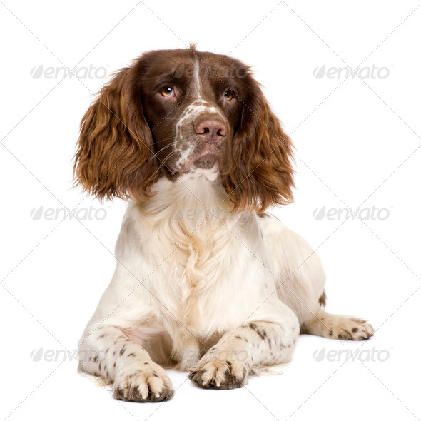 English Springer Spaniel (10 months) - Stock Photo - Images