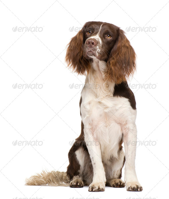 English Springer Spaniel (2 years) - Stock Photo - Images