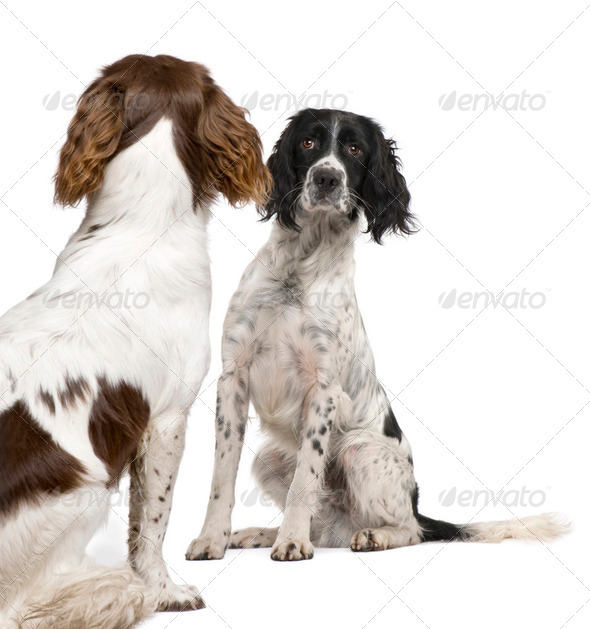English Springer Spaniel face to face (1 year) - Stock Photo - Images