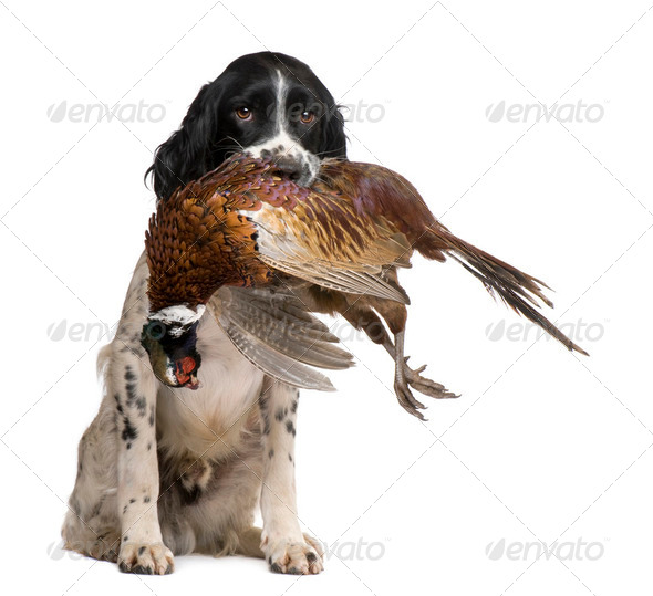 English Springer Spaniel hunting (1 year) - Stock Photo - Images