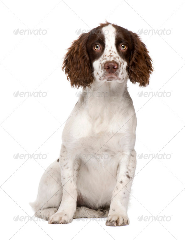English Springer Spaniel puppy (4 months) - Stock Photo - Images