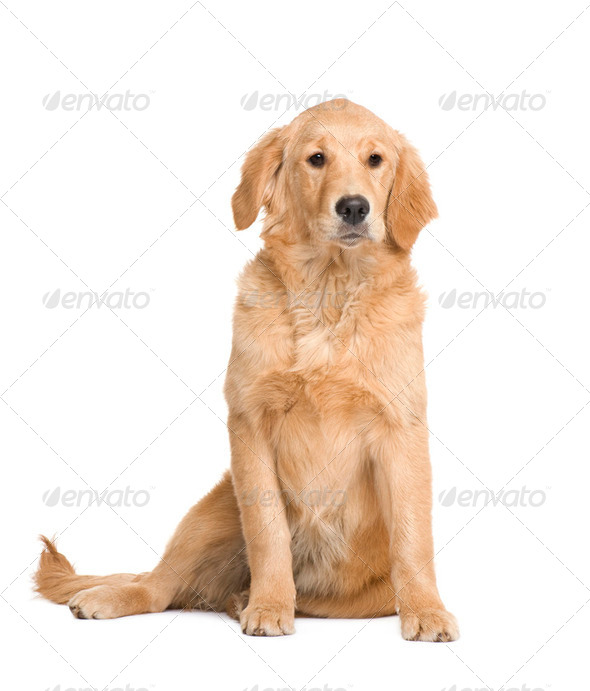 Golden Retriever puppy (5 months) - Stock Photo - Images