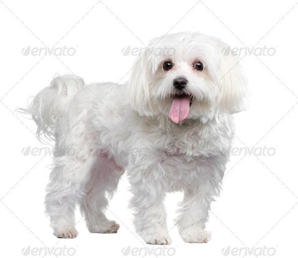 maltese dog (4 years) - Stock Photo - Images