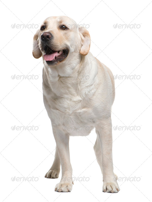 Labrador (2 years) - Stock Photo - Images