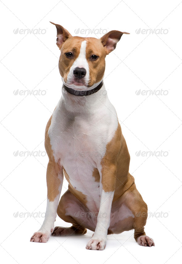 American Staffordshire terrier (18 months) - Stock Photo - Images