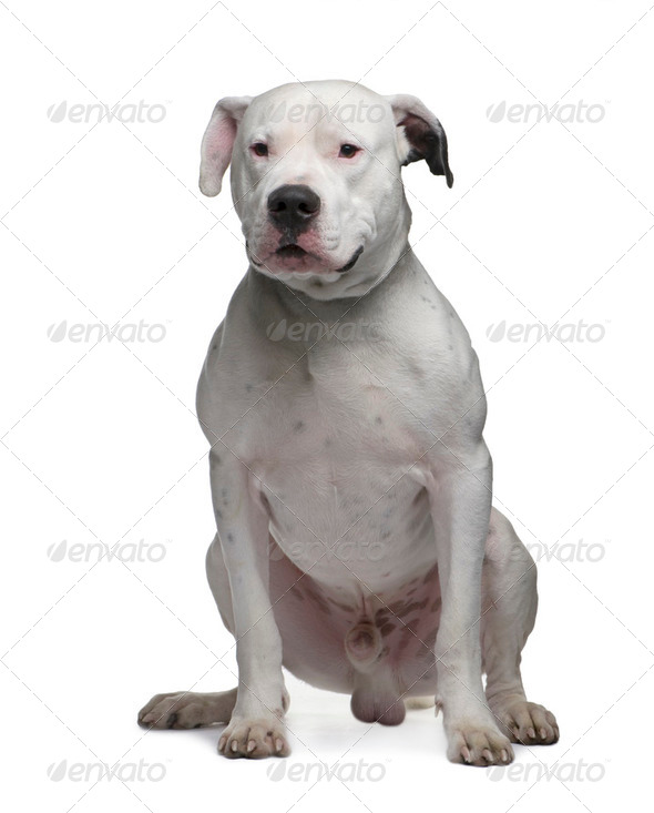 Argentine Dogo (2 years) - Stock Photo - Images