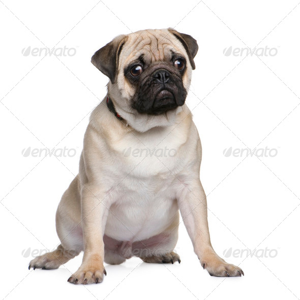 pug puppy (6 months) - Stock Photo - Images